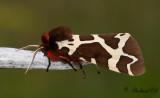 Arctiinae ( Björnspinnare )
