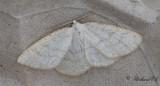 Gulvit streckmätare - Common Wave (Cabera exanthemata)