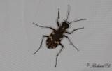 Skalbaggar / Beetles