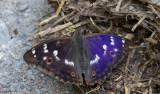 Dagfjärilar / Butterflies