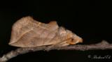 Noctuidae ( Nattflyn )