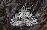 Lymantriinae ( Tofsspinnare )