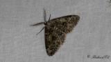 Grönaktig lavmätare - Brussels Lace (Cleorodes lichenaria)