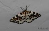 Krusbärsmätare - Magpie moth (Abraxas grossulariata)