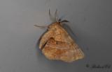 Grågul månmätare - Early Thorn (Selenia dentaria)