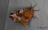 Rödbrun månmätare - Purple Thorn (Selenia tetralunaria)