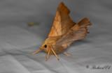 Askflikmätare - Dusky Thorn (Ennomos fuscantaria)