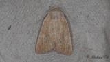 Rörstråfly - Mere Wainscot (Photedes fluxa)