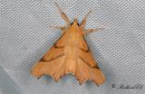 Ekflikmätare - September Thorn (Ennomos erosaria)