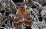 Lemonidae ( Mjölkörtsspinnare )