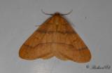 Guldgul frostmätare - Scarce Umber (Agriopis aurantiaria)