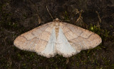 Grågul frostmätare - Dotted Border (Agriopis marginaria)