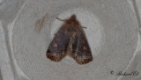 Lingonplattfly - The Chestnut (Conistra vaccinii)
