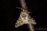 Taggig vintermätare - Small Brindled Beauty (Apocheima hispidaria)