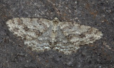 Dubbelvågig lavmätare - Small Engrailed (Ectropis crepuscularia)