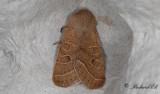 Busksälgfly - Common Quaker (Orthosia cerasi)