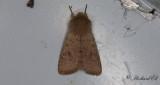 Mindre Sälgfly - Small Quaker (Orthosia cruda)