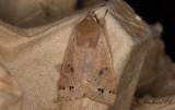 Svartprickigt sälgfly - Twin-spotted Quaker (Anorthoa Munda)