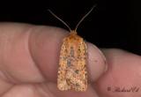 Rostgult plattfly - Dotted Chestnut (Conistra rubiginea)