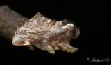 Vårflikvinge - Sievers' Prominent (Odontosia sieversii)