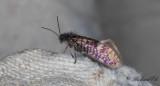 Vårpurpurmal - Early Purple (Eriocrania semipurpurella)