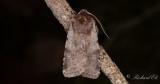Rödviolett skogsfly - Red Chestnut (Cerastis rubricosa)