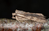Gråbrunt träfly - Pale Pinion (Lithophane socia)