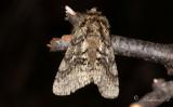Lurvig vintermätare - Brindled beauty (Lycia hirtaria)
