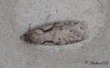 Rönnvårmal - Dawn Flat-body (Semioscopis steinkellneriana)