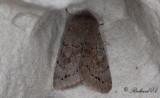Aspsälgfly - Lead-coloured Drab (Orthosia populeti)