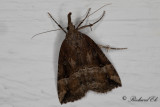 Humlenäbbfly - Buttoned Snout (Hypena rostralis)