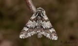 Brunaktig vintermätare - Oak Beauty (Biston strataria)