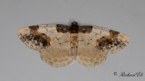 Benvedsmätare - Scorched Carpet (Ligdia adustata)