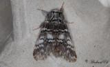 Vintereksspinnare - Lunar Marbled Brown (Drymonia ruficornis)