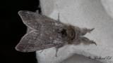Bokspinnare - Pale Tussock (Calliteara pudibunda)