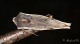 Mindre mantelfly - Red Sword-grass (Xylena vetusta)