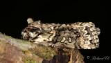 Ekgulhornspinnare - Frosted Green (Polyploca ridens)