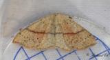 Ekgördelmätare - Maiden's Blush (Cyclophora punctaria)