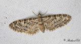 Mindre ekmalmätare - Oak-tree Pug (Eupithecia dodoneata)