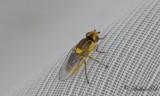 Tvåvingar (Diptera)