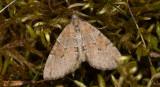Violettgrå fältmätare - Grey Pine Carpet (Thera obeliscata)