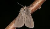 Grå tigerspinnare - Muslin Moth (Diaphora mendica)