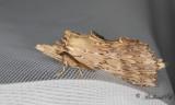 Näbbspinnare - Pale Promonent (Pterostoma palpinum)