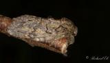 Ektandvinge - Great Prominent (Peridea anceps)