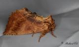 Ekflikvinge - Coxcomb Prominent (Ptilodon capucina)