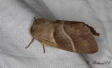 Gräsulv - Fox Moth (Macrothylacia rubi)
