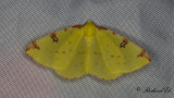 Citronmätare - Brimstone Moth (Opisthograptis luteolata)