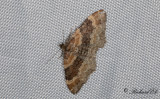 Brunröd fältmätare - Red Twin-spot Carpet (Xanthorhoe spadicearia)