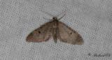 Tallmalmätare - Ochreous Pug (Eupithecia indigata)