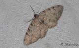 Allavmätare - Grey Birch (Aethalura punctulata)